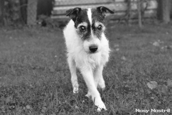 Parson Jack Russell Terrier Idemo by Windrush, Champion des Herzens